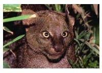 Jaguarundi Photos Types Of Wild Cats, Otters, Goats, Photos, Animals, Otter, Animaux, Animales, Goat