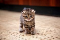 Scottish fold I would love a tiny kitty like this ❤️