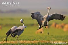 Blue Crane courtship dance   As the common name suggests, it is pale blue in colour, although it can appear grey from a distance. It is a relatively small crane with a large head, thick neck and beautiful elongated wing feathers, known as tertials, that trail behind this bird and are often mistaken for tail feathers.