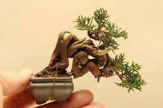 Juniper Mame bonsai