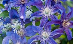 "Clematis ""Saphyra INDIGO"" _____________________________ Reposted by Dr. Veronica Lee, DNP (Depew/Buffalo, NY, US)"