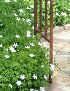 Growing Geraniums, Cottage Garden Plants, Garden Landscape Design, White Gardens, Outdoor Plants, Shade Garden, Yard Landscaping, Garden Inspiration, Gardens