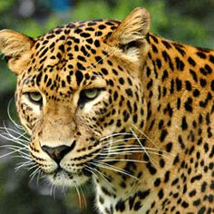 Sign the petition and join the fight to keep the Amur leopard alive.  ONLY 20 LEFT IN THE WILD! PLEASE SIGN & SHARE! Urge the International Fund for Animal Welfare (IFAW) — an organization that works to save leopards and other animals around the world — to intervene immediately so as to halt the extinction of the Amur leopard