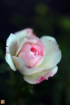 Teeny weeny rose