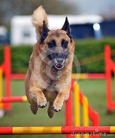 An active dog jumping a hurdle having agility training