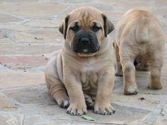 boerboel pups