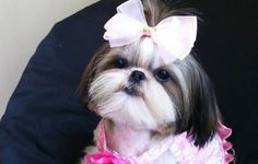 Looking for a cool name for your Girl Shih Tzu? Here is a list of female Shih Tzu dog names that has been compiled...