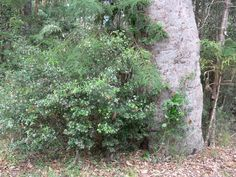 Alyxia ruscifolia (Chain Fruit)