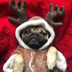 something special ♡ Cute Baby Pugs, Cute Baby Animals, Funny Animals, Cute Dogs And Puppies, Baby Puppies, Bulldog Puppies, Doug The Pug, Silly Dogs, Pug Love