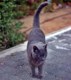 Grey ,a lovely cat