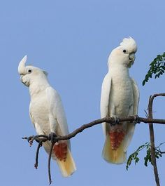Rare Philippine Red-Vented Cockatoo (Cacatua haematuropygia). Declining due to heavy trapping, deforestation, hunted as a crop pest & for food. Also declining because of outbreak of psittacine beak & feather disease (PBFD).
