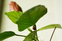 larry ladybird under hibiscus leaf Hibiscus Leaves, Larry, Plant Leaves, Smile, Plants, Plant, Planets, Laughing