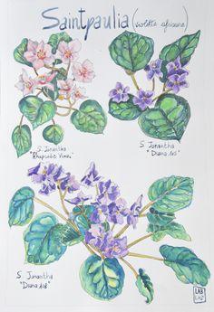 #Saintpaulia, #violetta africana. #Illustrazione #acquerello #watercolor #illustration #etsy