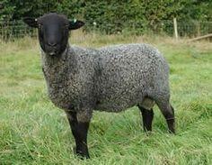 Breeds of Livestock - Gotland Sheep — Breeds of Livestock, Department of Animal Science Happy Animals, Farm Animals, Cute Lamb, Musk Ox, Sheep Breeds, The Wooly, Counting Sheep, Animal Science, Sheep And Lamb