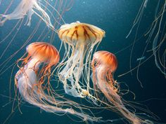 Hopefully will not run into any of these #jellyfish while swimming in the sea in #StKitts #SandorCity Contest