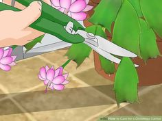 How to Care for a Christmas Cactus. A beautiful holiday plant (botanically known as Schlumbergera or Zygocactus), the Christmas Cactus unsurprisingly blooms at Christmas and also sometimes around Easter time if cared for properly. A month. Cacti And Succulents, Planting Succulents, Cactus Plants, Garden Plants, House Plants, Planting Flowers, Indoor Cactus, Cactus Art, Indoor Plants
