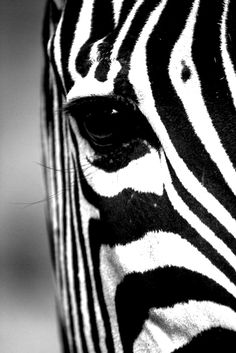 Stunning black and white shot of a zebra really draws you into the photo...