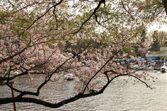 low cherry blossom tree branches, Tokyo, Japan