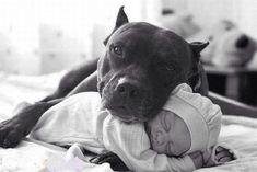 Perro pitbull abrazando a un bebé