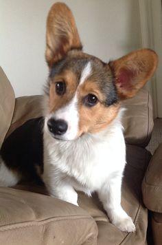 Duke our new corgi puppy