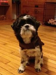 Adopted! Lucca is an adoptable Shih Tzu Dog in Spring Lake, NJ. This is a courtesy post, so please do not contact Rescue Ridge, but instead contact Amy at amysennett@yahoo.com . Lucca is a fu...