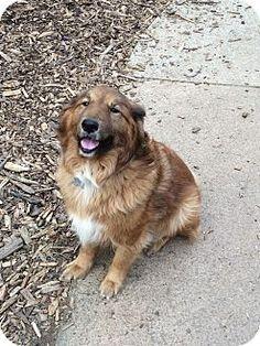 9/6/16 Acworth, GA - Sheltie, Shetland Sheepdog/Goldendoodle Mix. Meet Tuddy, a dog for adoption. http://www.adoptapet.com/pet/16550525-acworth-georgia-sheltie-shetland-sheepdog-mix