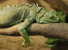 """Résultat de recherche d'images pour """"iguana iguana"""""""