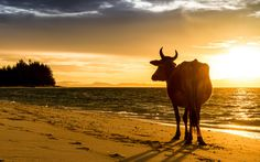 Kühe sind in Indien heilig © Shutterstock.com