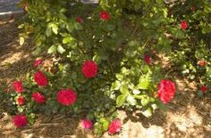 Easy Elegance 'Super Hero' shrub Rose