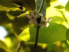 Diospyros paniculata Dalzell | Ebenaceae (ebony family) » Di… | Flickr - Photo Sharing!