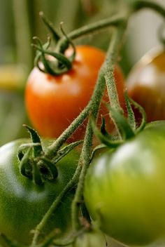 tomatoes - love the smell of fresh tomatoes on the vine