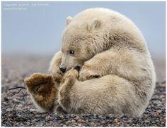 My Precious... - Nine month old polar bear cub. Alaska. October 2016. www.kirichko.net