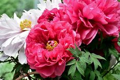 Peony Print, Gardens By The Bay, Peonies, Fantasy, Rose, Flowers, Plants, Pink, Fantasy Books