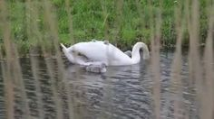 Mother Swans