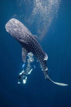 Requin-Baleine et plongeur