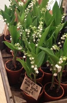 Presenting a Muguet on May's Labor Day