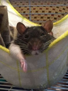 Photos Of Rats in Hammocks Is The Best Way To Celebrate World Rat Day - World's largest collection of cat memes and other animals Funny Rats, Cute Rats, Cute Hamsters, Animals And Pets, Baby Animals, Funny Animals, Cute Animals, Strange Animals, Dumbo Rat