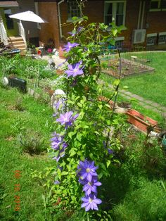 Will have to get another trellis for this lovely and thriving purple clematis - will probably extend it to a slightly angled screen - just like a room divider screen. It will look cozy and elegant.