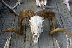 skull sheep - Google 検索
