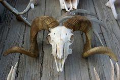 skull sheep - Google 検索