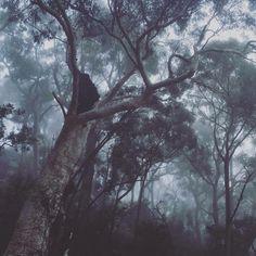 Eucalyptus trees, blue gum, sydney, australia