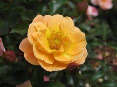"Flower Carpet Amber ""Next Generation"" roses | by tesselaarusa"