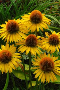 'MAUI SUNSHINE' CONEFLOWER (Echinacea 'Maui Sunshine') - Height 100cm / Spread 75cm - 90cm / Zones 4 - 9b / Sun / Drought Tolerant / Attracts Butterflies and Hummingbirds / Flowers May / Flowers June - September
