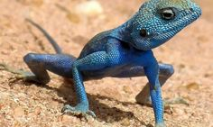 Metal Magnet Male Blue Agama Sinaita Lizard on Sand Reptile Magnet X Pretty Animals, Animals Beautiful, Cute Animals, Wiki Picture, Reptiles Et Amphibiens, Colorful Lizards, Colorful Animals, Blue Lizard, Exotic Pets