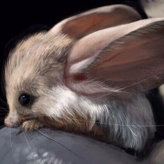 The long eared jerboa