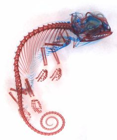 #OKILAB te muestra:  Chamaeleo calyptratus (veiled chameleon) embryo showing cartilage (blue) and bone (red)