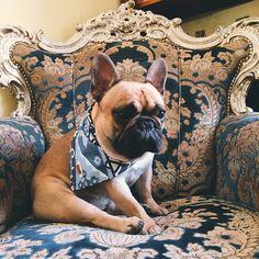 Jacques the Bat-Dog, French Bulldog