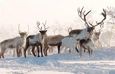 Finnish Reindeer Herder | Beautiful Reindeer herders around the world « Amazing World Pictures
