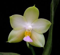 phalaenopsis mok choi yew | ... Orchid forum • View topic - Phal (violacea x Yungho Gelb Canary
