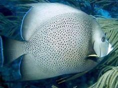 Gray Angelfish (Pomacanthus arcuatus), Western Atlantic